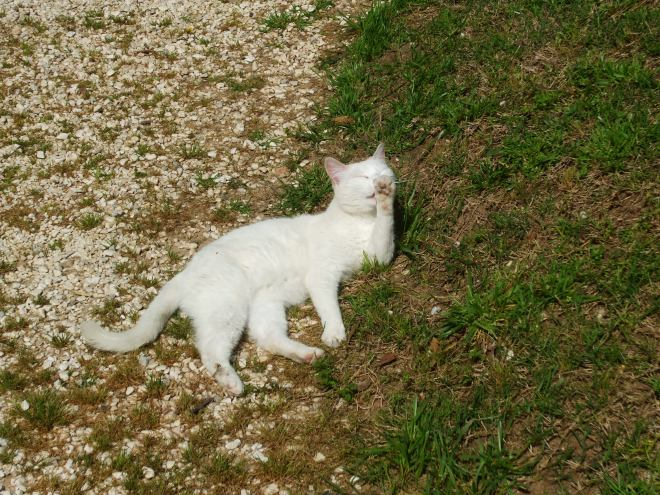 White cat enjoys sunlight.
